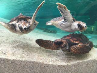 水の下で泳ぐ海亀の写真・画像素材[1092422]