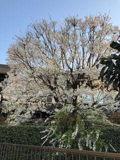 満開の桜の写真・画像素材[1089722]