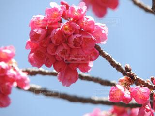 鶴見緑地公園 桜の写真・画像素材[1089415]