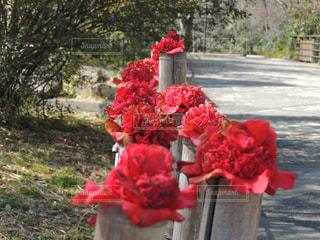 鶴見緑地公園 椿の写真・画像素材[1089416]