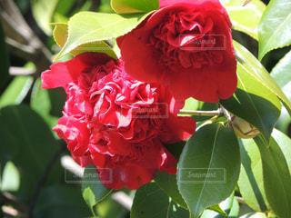鶴見緑地公園 椿の写真・画像素材[1089417]