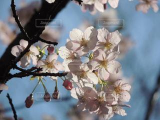 鶴見緑地公園 桜の写真・画像素材[1089418]