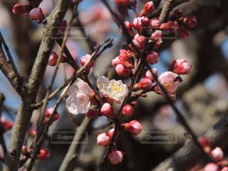 鶴見緑地公園 桜の写真・画像素材[1089421]