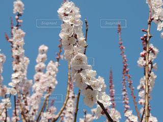 鶴見緑地公園 桜の写真・画像素材[1089422]