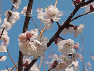 鶴見緑地公園 桜の写真・画像素材[1089424]