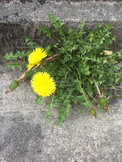 黄色の花の写真・画像素材[1089420]