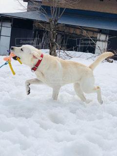 雪の上ではしゃぐ犬の写真・画像素材[1089465]