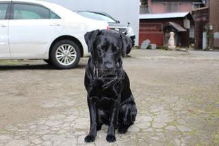 車の上に座っている黒犬の写真・画像素材[1090728]