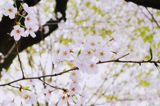 桜の枝アップの写真・画像素材[1161698]