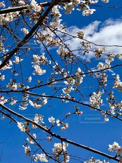 青空と桜の写真・画像素材[1090285]