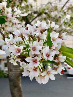 桜の写真・画像素材[1106972]