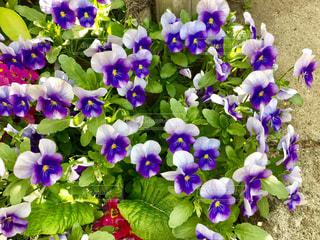 紫の花の写真・画像素材[1119725]