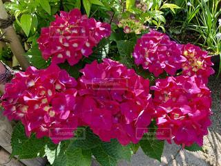 紫陽花の写真・画像素材[1120810]