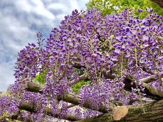 藤の花の写真・画像素材[1129296]