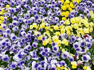 紫と黄色の花の写真・画像素材[1131595]