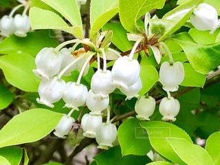 白いカワイイ花の写真・画像素材[1131596]