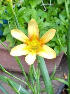 黄色い花の写真・画像素材[1137127]
