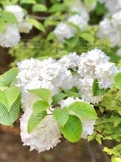 白い花の写真・画像素材[1141341]