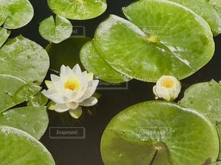 白い睡蓮の写真・画像素材[1154581]