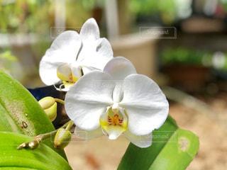白い胡蝶蘭の写真・画像素材[1156303]