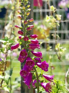 赤紫の花の写真・画像素材[1156304]