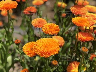 オレンジの花の写真・画像素材[1156308]