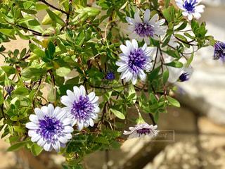紫と白の花の写真・画像素材[1156343]