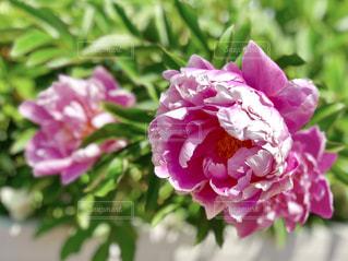 ピンクの牡丹の写真・画像素材[1156344]