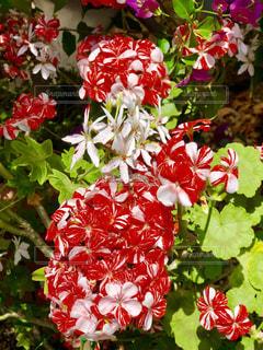 ツートンカラーの花の写真・画像素材[1156346]