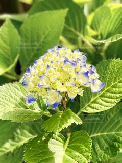 紫陽花の写真・画像素材[1189219]