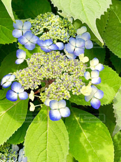 紫陽花の写真・画像素材[1189220]