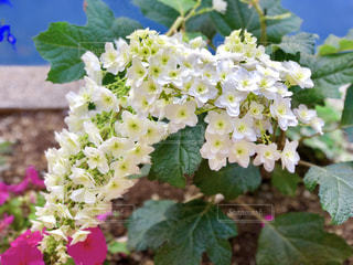 白い小さい花の写真・画像素材[1192545]