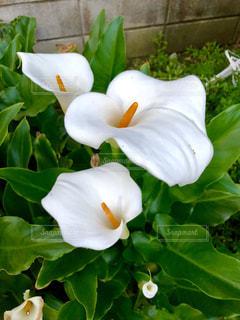 白い花の写真・画像素材[1192558]