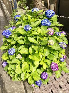 紫陽花の写真・画像素材[1199687]