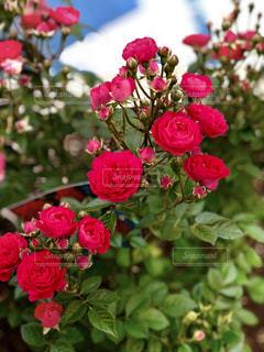 赤い薔薇の写真・画像素材[1205639]