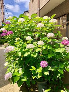 紫陽花の写真・画像素材[1205640]