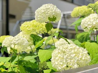 白い紫陽花の写真・画像素材[1205643]