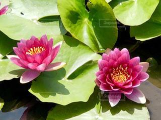 睡蓮の花の写真・画像素材[1277313]