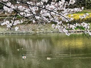 桜と水鳥の写真・画像素材[1949239]