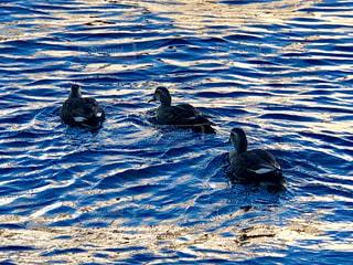 泳ぐ水鳥の写真・画像素材[1949661]