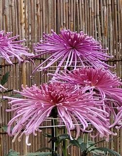 菊の写真・画像素材[1966761]