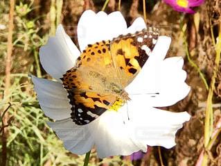 秋桜にとまる蝶の写真・画像素材[1968264]