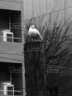 ユリカモメの写真・画像素材[2014424]