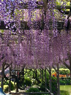 藤の花の写真・画像素材[2071240]