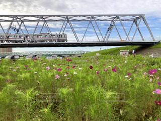鉄橋と秋桜の写真・画像素材[2484446]