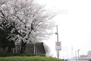 ボートレース場の桜の写真・画像素材[1096752]