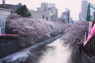 目黒川桜並木の写真・画像素材[1101981]