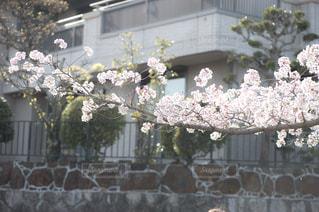 伸びてゆけ桜の写真・画像素材[1103085]