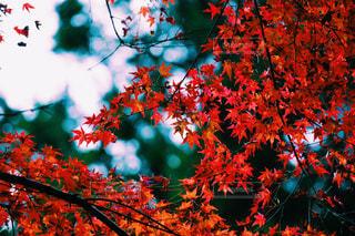 紅葉の写真・画像素材[1090876]