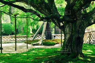 御神木の写真・画像素材[1919041]